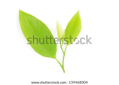 Green leaf isolated on white background.