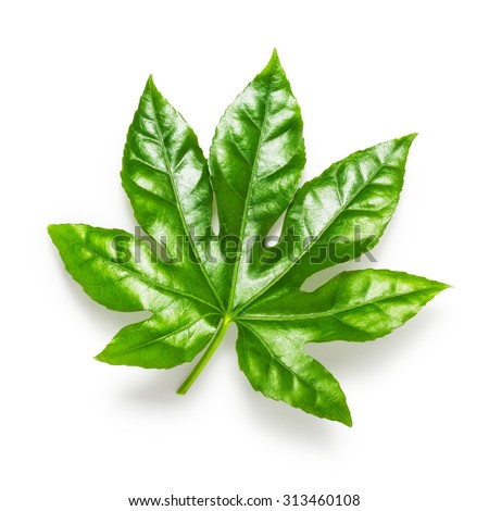 Green leaf isolated on white background. Design element. Single object with clipping path  - stock photo