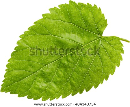Green leaf isolated on white background. Nature background.