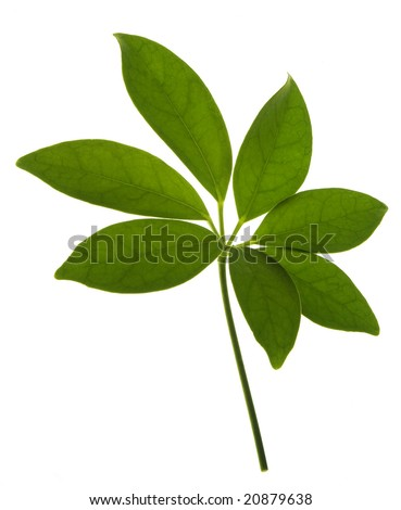green leaf isolated on white.  Super clean white background-- professionally isolated with clean edges and no grey.  Carefully spotted and retouched.