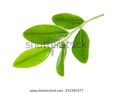 Green leaf isolated over white background