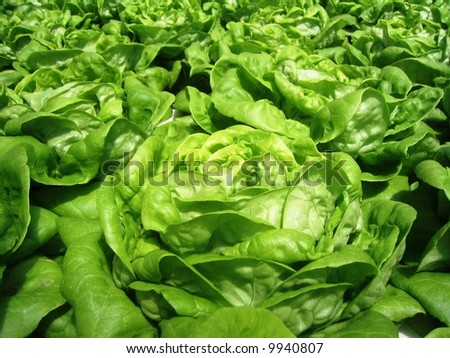 Green leaf lettuce close-up - stock photo