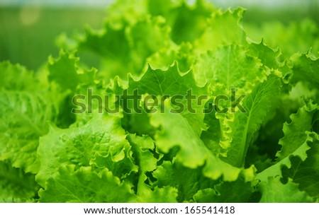 green leaf lettuce growing in the garden - stock photo