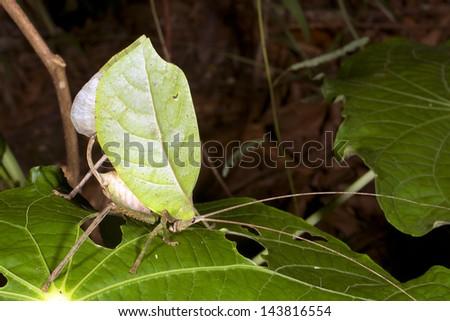 Green leaf mimic katydid concealed in a bush, Ecuador - stock photo