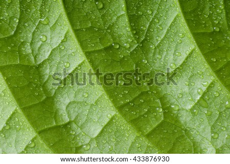 Green leaf nature background.Green leaf nature background, natural texture of plant in close-up.