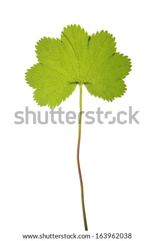 Green leaf of Alchemilla vulgaris isolated on white - stock photo
