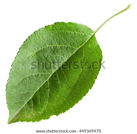 green leaf of Apple tree (Malus domestica) isolated on white background