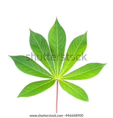 Green leaf of Cassava, Yuca, Mandioa or Manioc, Tapioca on white background. - stock photo