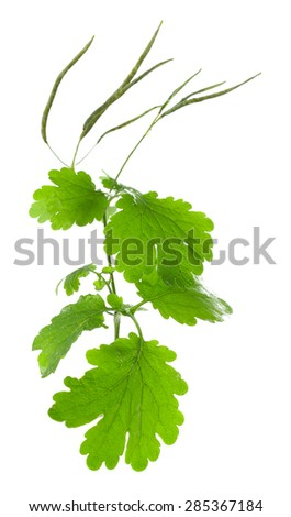 Green leaf of celandine isolated on white