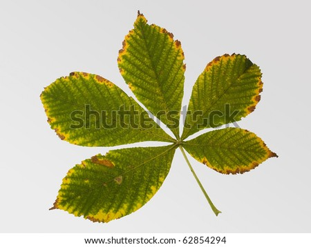 Green leaf of chestnut tree - stock photo