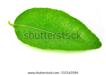 green leaf of citrus-tree. Isolated on white background. Close-up. Studio photography.