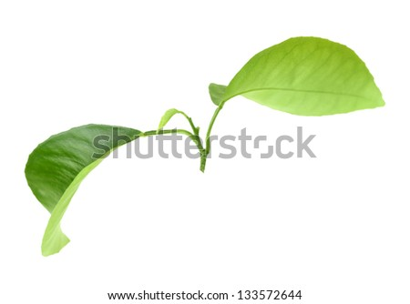 Green leaf of citrus-tree on branch. Isolated on white background. Close-up. Studio photography. - stock photo