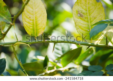 Green leaf of citrus-tree on branch with thorns - stock photo