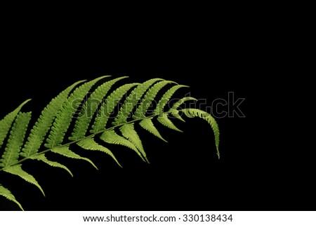 Green leaf of Fern on black background  - stock photo