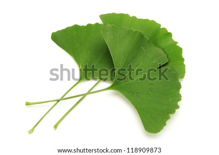 green leaf of ginkgo (Ginkgo biloba) isolated on white