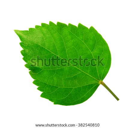 Green leaf of Hibiscus; closeup on white background