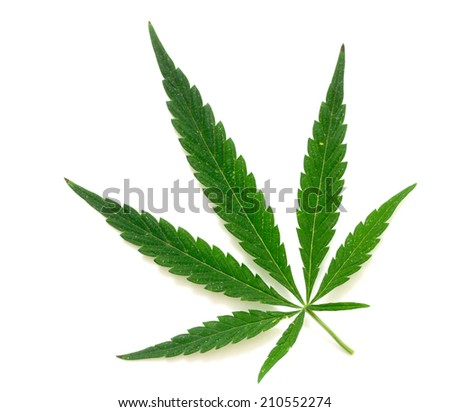 Green leaf of marijuana - stock photo