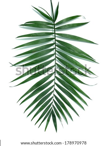 Green leaf  of palm tree (Howea) isolated on white - stock photo