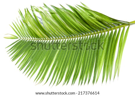 Green leaf of palm tree isolated on white background. This has clipping path.  - stock photo