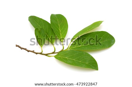 Green leaf of Sugar Apple isolated on white background