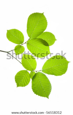 green leaf on a white background - stock photo