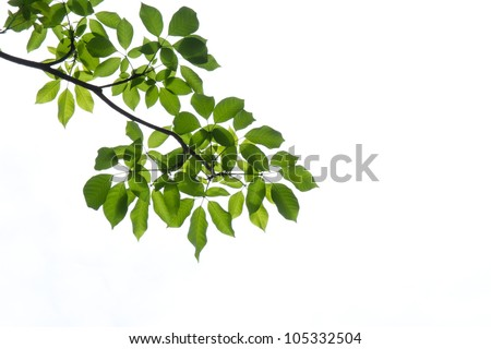 Green leaf on isolated background - stock photo