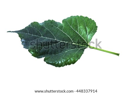 green leaf on isolated background