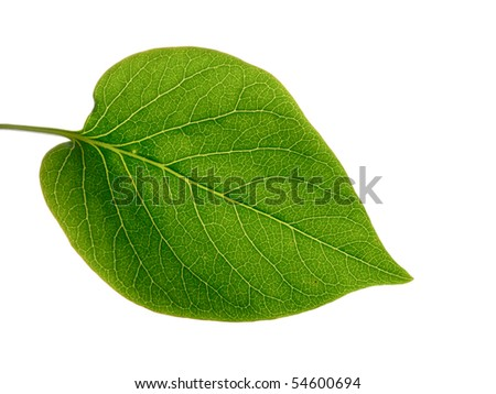 Green leaf on the white background