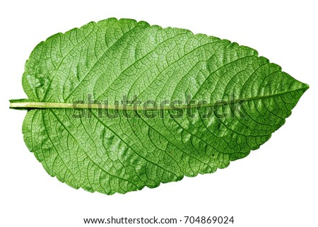 Green leaf on white. Natural background and texture.