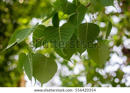 Green leaf Pho leaf, (bo leaf,bothi leaf)