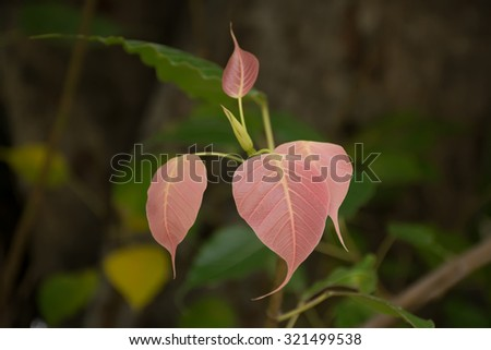 Green leaf,pink  leaf Beautiful ,pink leaves Rare leaves Colorful leaves