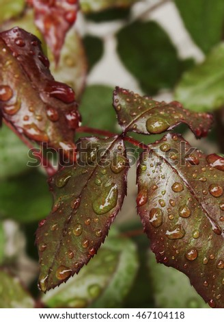 green leaf rose with drops of dew, background