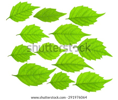 Green leaf set isolated on white background.