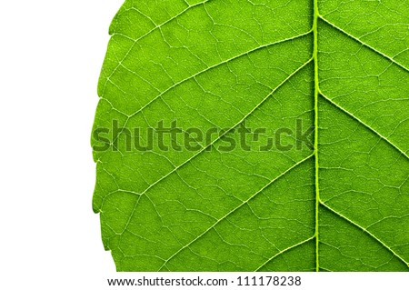 green leaf texture closeup on white background - stock photo
