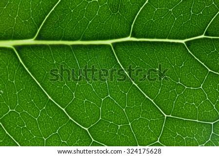 Green leaf texture closeup showing veins pattern - horizontal - stock photo