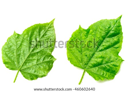 Green leaf texture isolated on white background