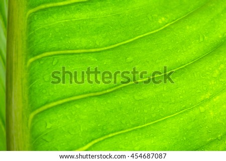 green leaf texture with water drop after rain,select focus with shallow depth of field:ideal use for background
