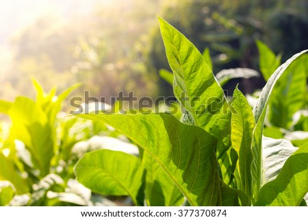 green leaf tobacco  Close up and blurred tobacco field background - stock photo