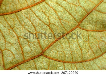 Green Leaf : Under Leaf of Bauhinia Aureifolia or Golden Leaves Liana (Very Soft Focus and Edge Blurry) - Abstract Texture Background - stock photo
