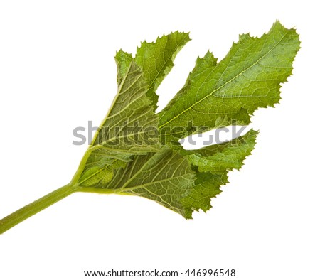 green leaf vegetable marrow isolated on white background