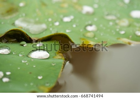 Green leaf water lily and water Drops on a lotus leaf in daylight with selective focus.