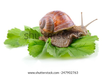 Green leaf with crawling garden snail isolated on a white background