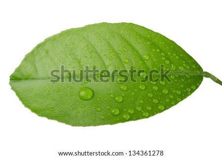 green leaf with dew drops isolated on white background