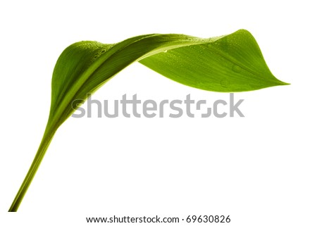 green leaf with drops of water on white background - stock photo