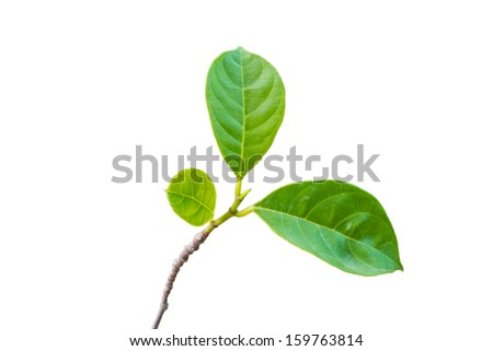 green leaf with  isolated on white background