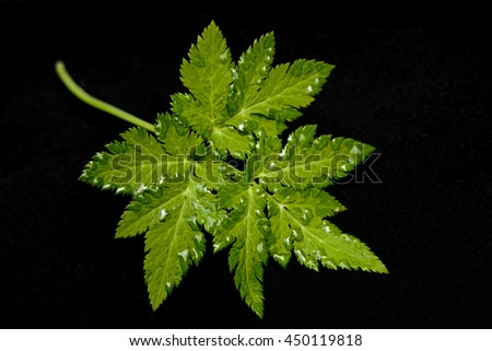 Green leaf with raindrops against black background - stock photo