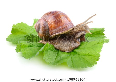 Green leaf with sitting garden snail isolated on a white background - stock photo