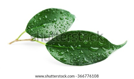 Green leaf with water drops isolated on white - stock photo