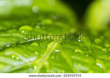 Green leaf with water drops photographed with the macro lens just after the rain
