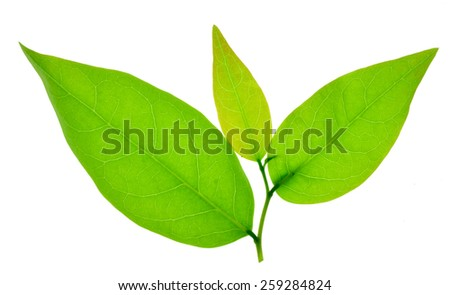 green leafs isolated on white background